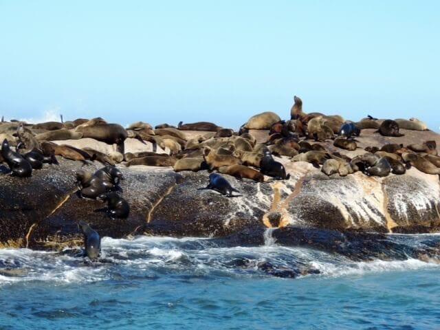 otarie, isola delle foche Sudafrica
