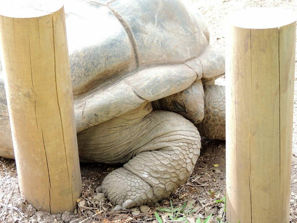 tartarughe giganti mauritius