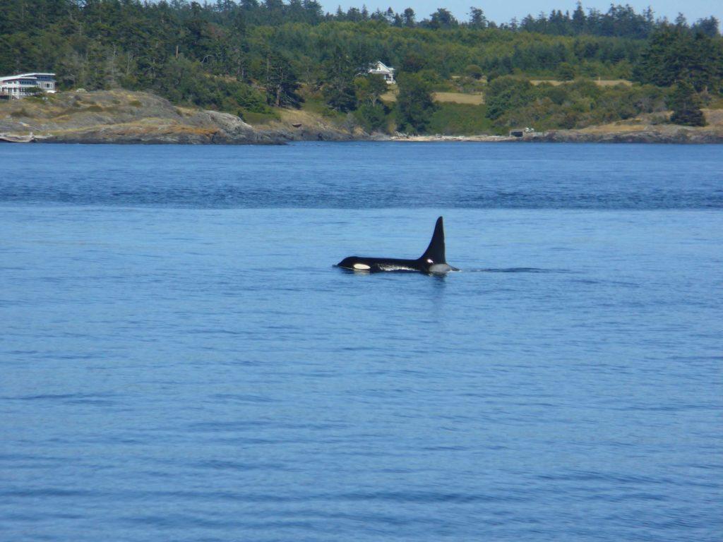 orche a Victoria, British Columbia