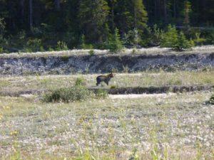orso a banff, Canada British Columbia